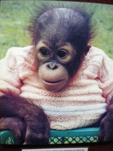 Baby Orangutan in sweater